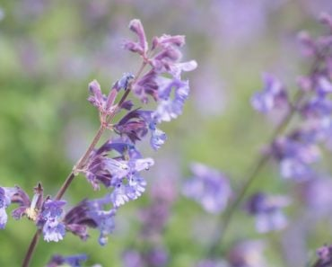 Purple Catmint Flowers