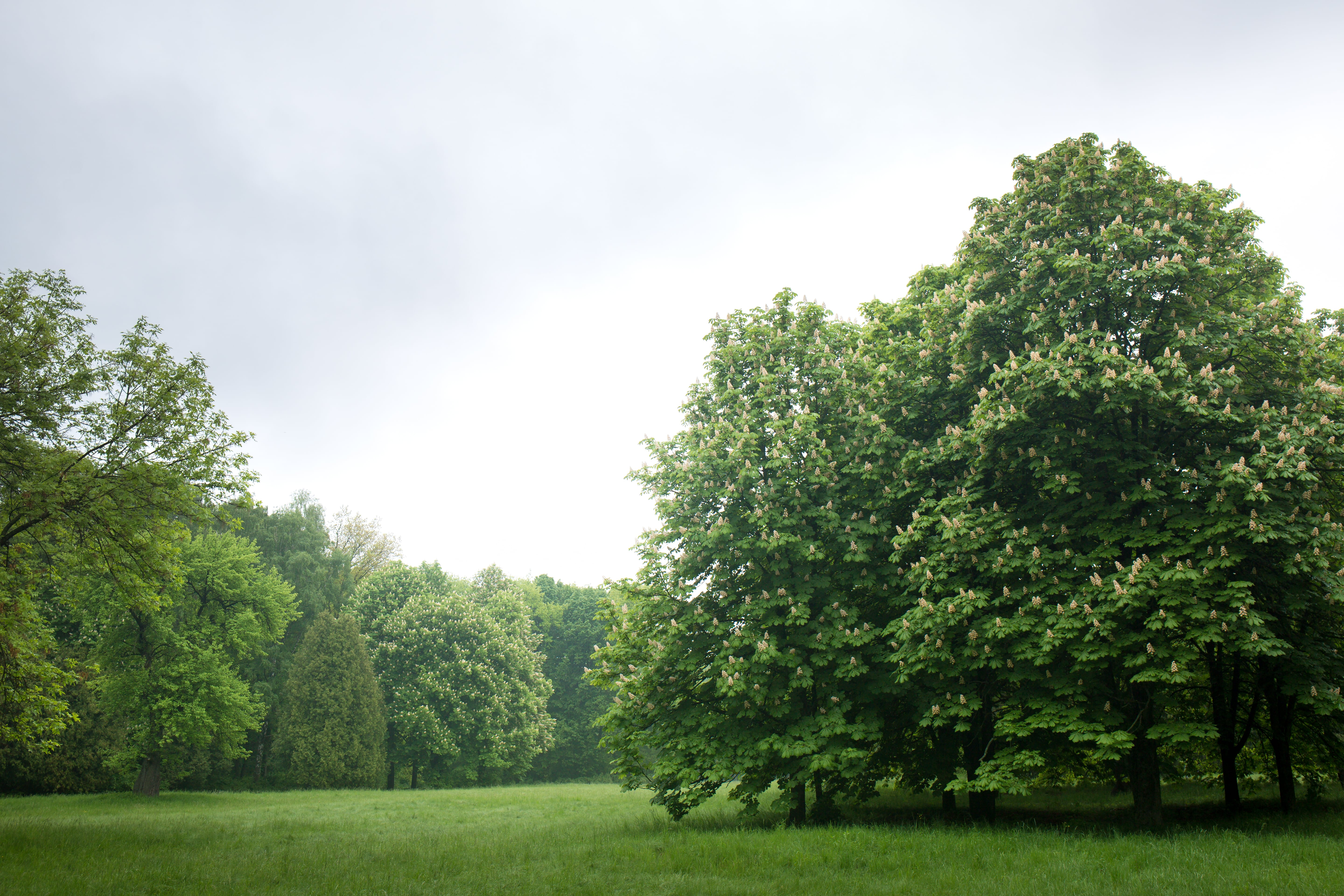 Forest of Large Chestnut Oak Trees on Green Grass and Light Sky