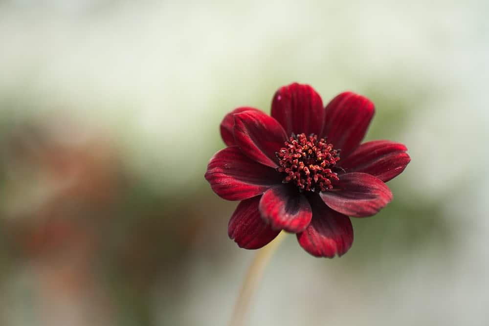 Maroon colored Cosmos flower