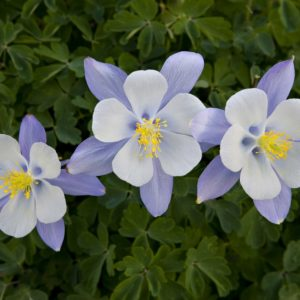 Columbine flowers with green leaves
