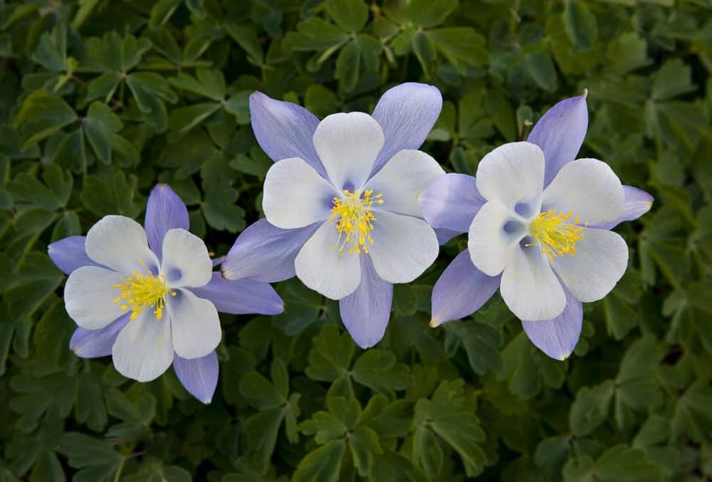 10 Different Types Of Columbine Flowers