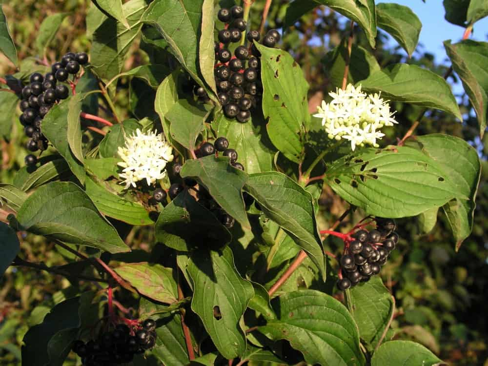Common Dogwood; a type of Dogwood tree