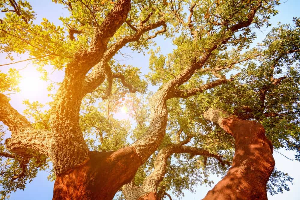 A beautiful shot of a cork oak tree