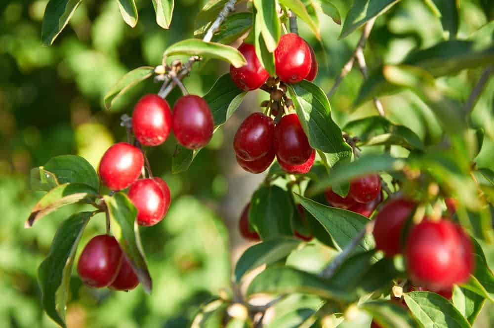 Cornelian Cherry; a type of Dogwood tree