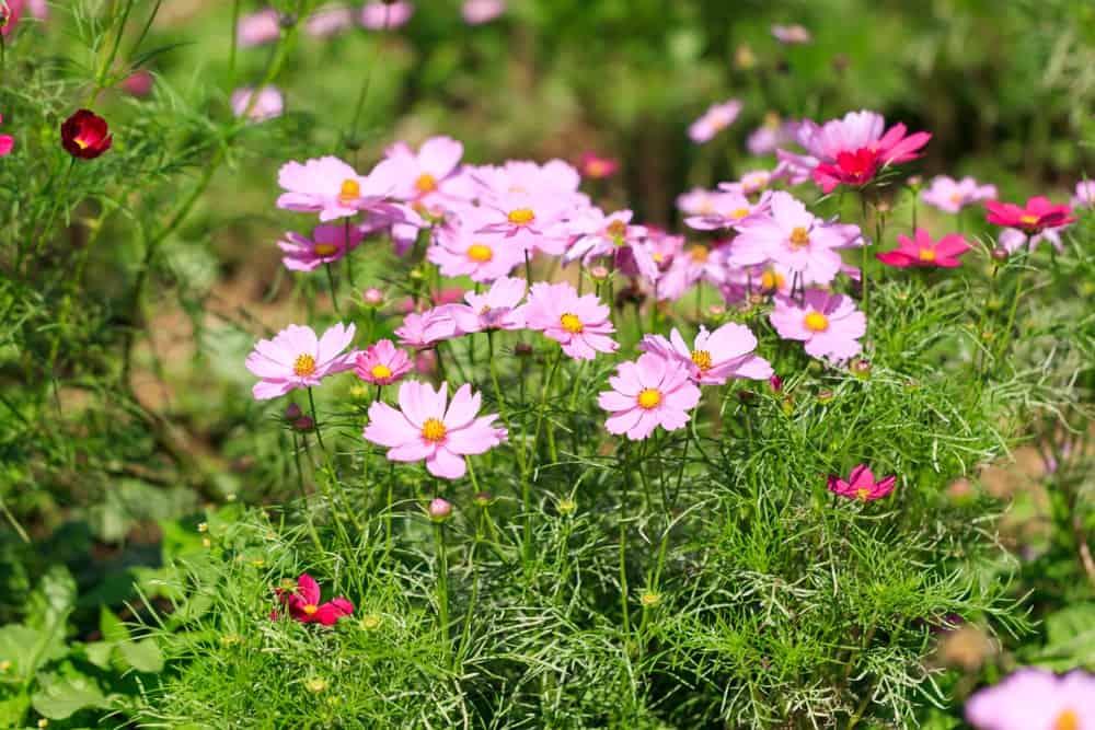 Cosmos bipinnatus flowers