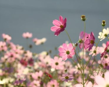 Cosmos flowers in spring
