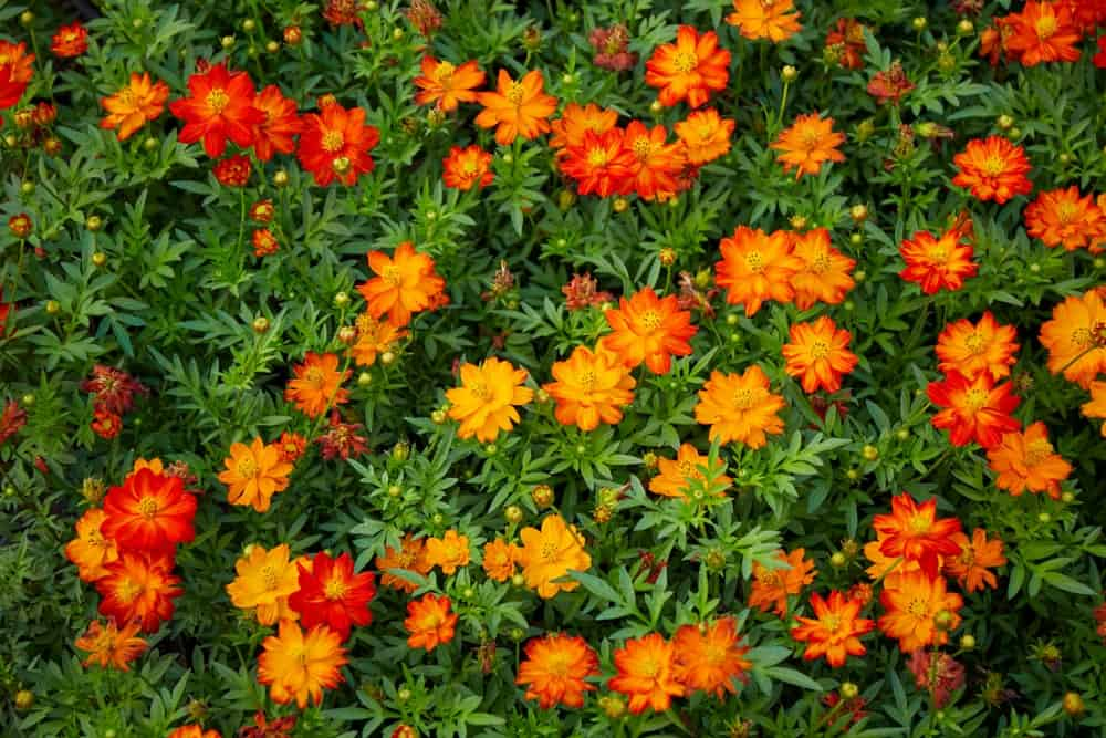 Cosmos sulphureus flowers