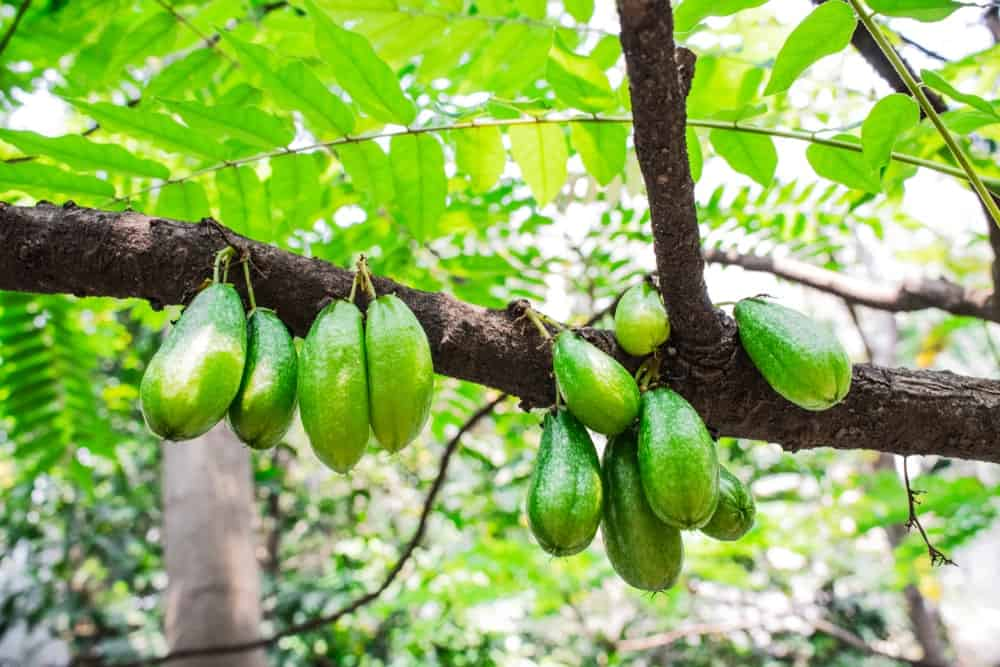 Fruits of the cucumber tree