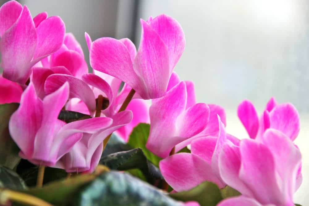 Cyclamen persicum; a species of the Cyclamen Spurge plant