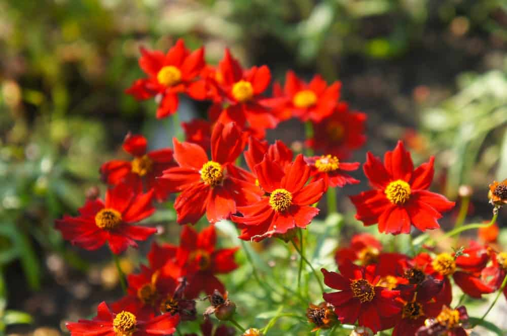 Desert Coral; a cultivar of the Coreopsis plant