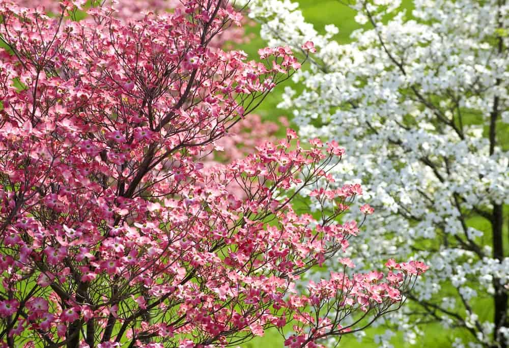 White and pink flowers blossoming on dogwood trees.