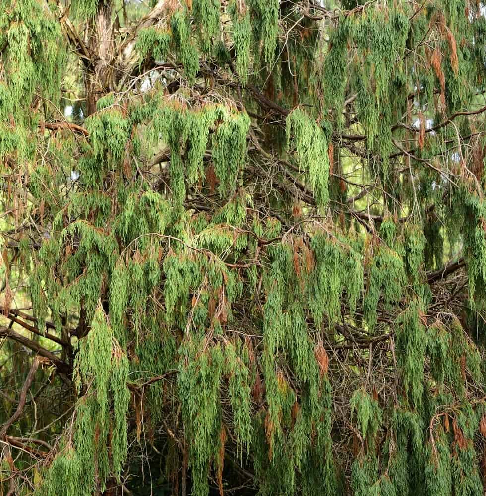 Green-colored drooping juniper