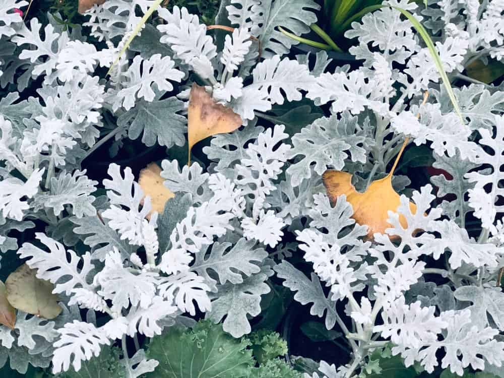 Cirrus; a dusty miller plant type