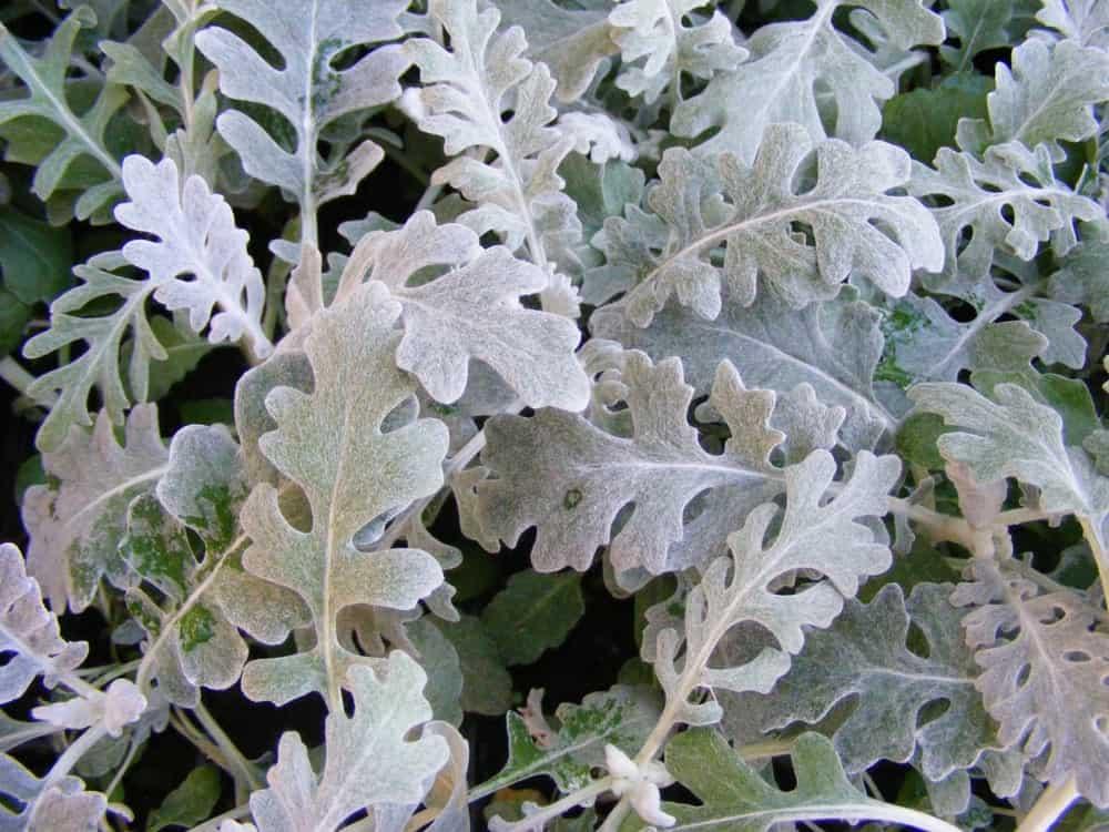 Silverdust; a dusty miller plant type
