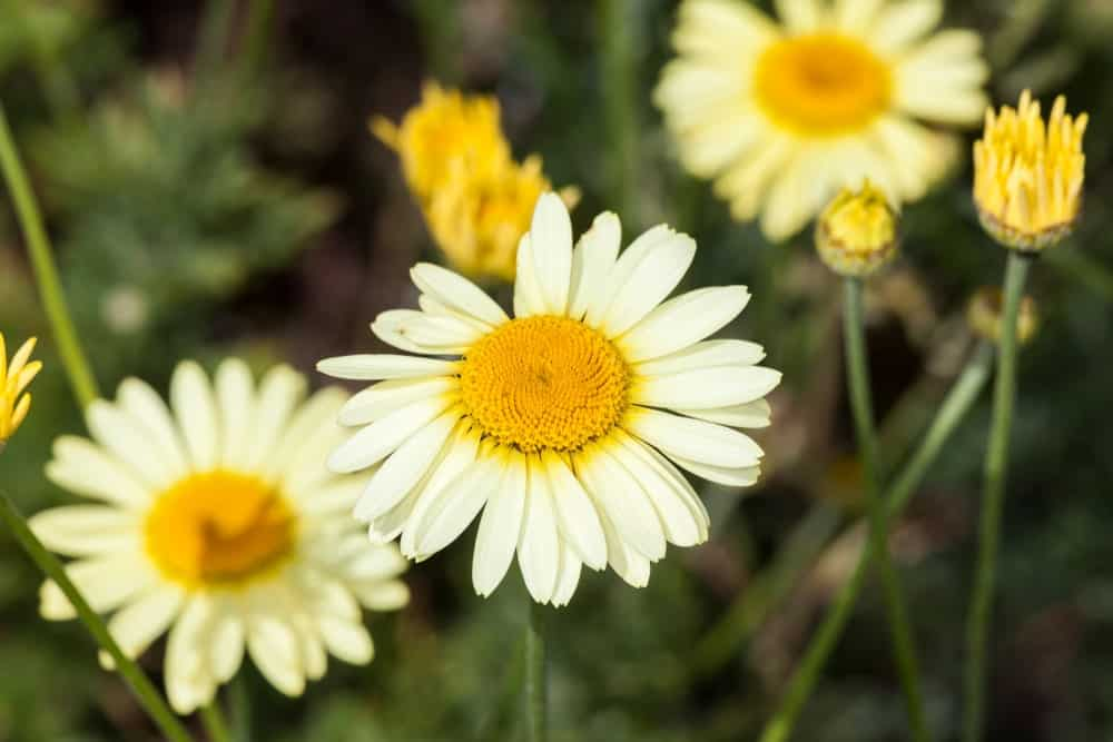 A Variety of Golden Marguerite Flowers