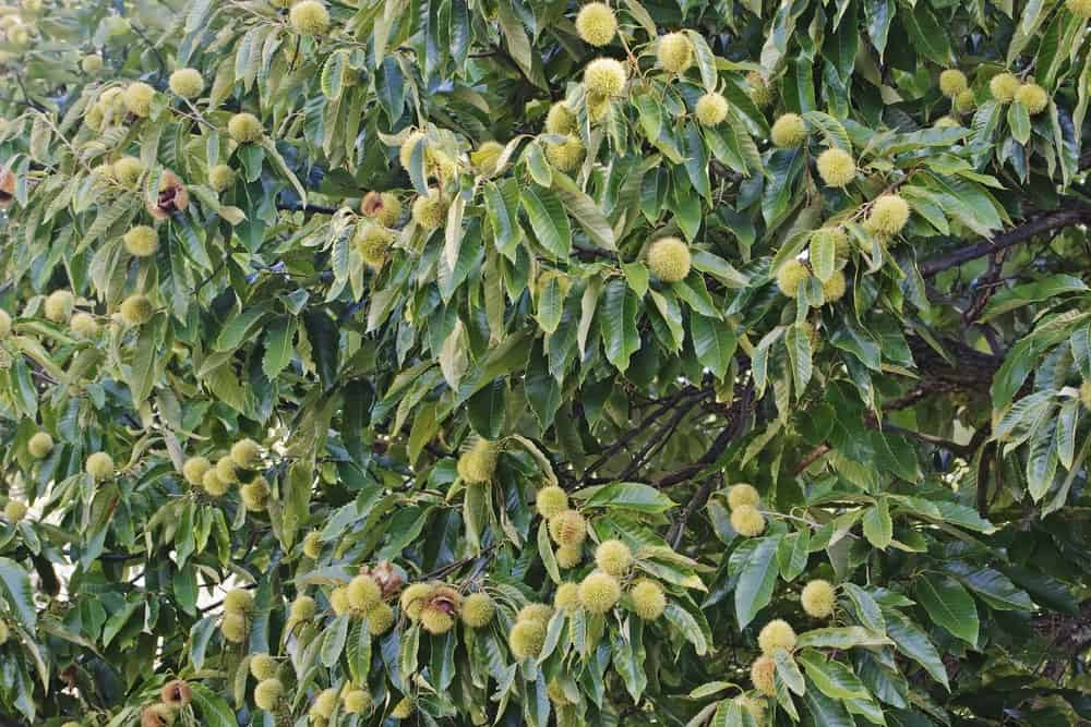 Fruits of American chestnut tree