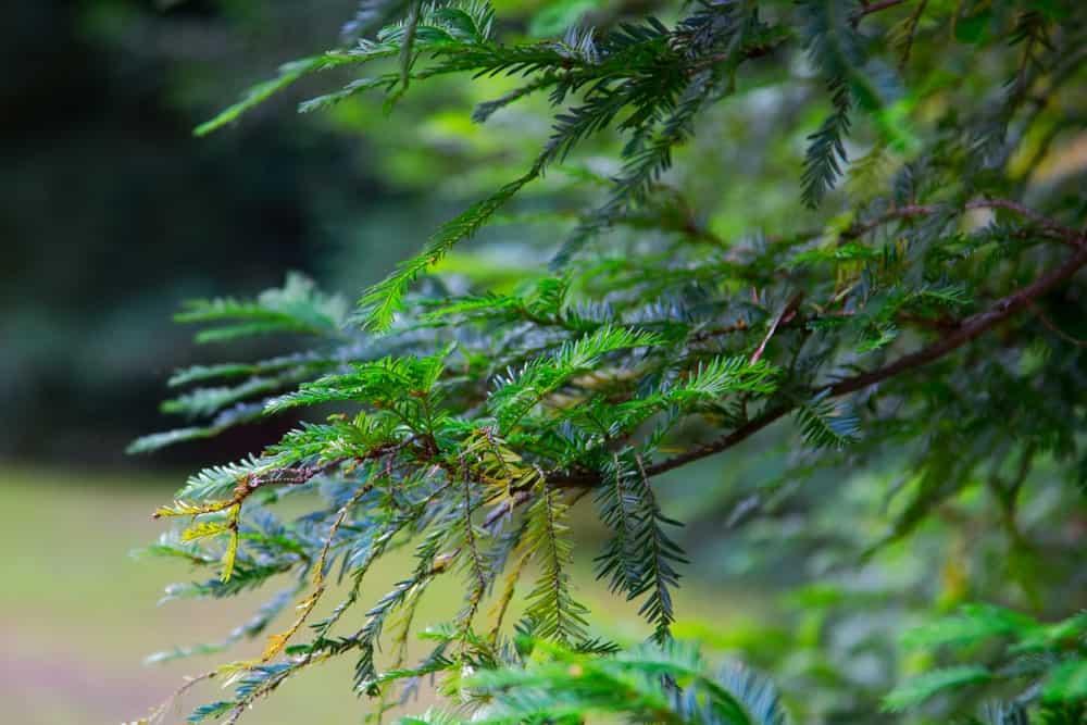 Leaves of the eastern hemlock tree