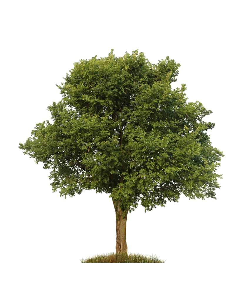 Adult elm tree