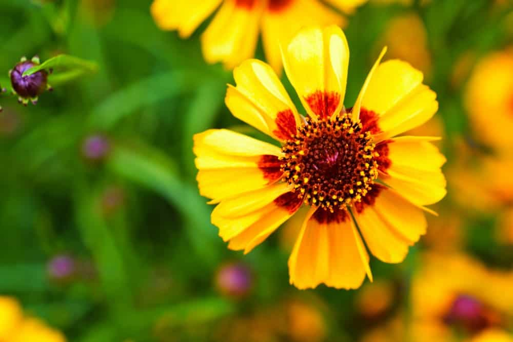Coreopsis plant flower in a bright yellow color with a red center