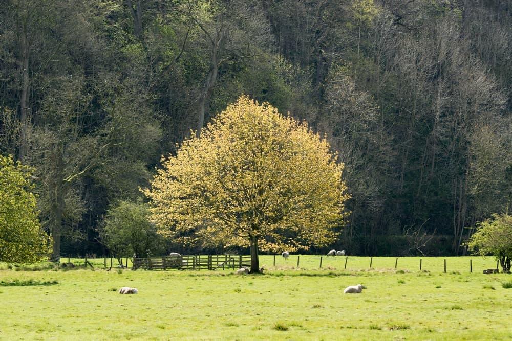 Young English elm tree