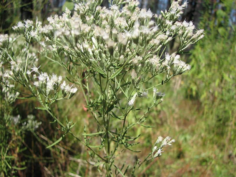 White flower of the Eupatorium genus