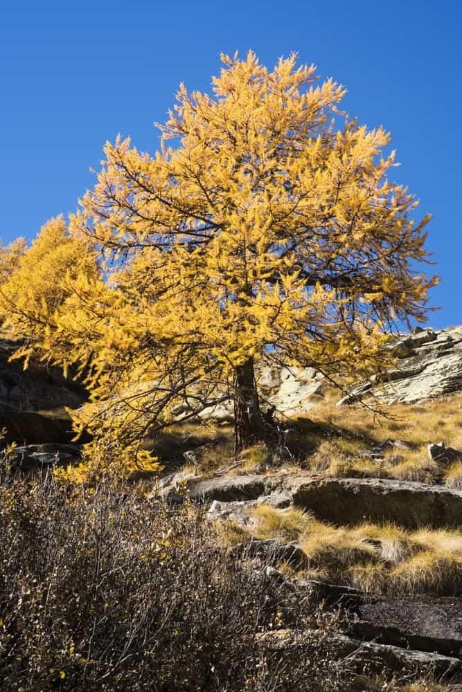 European larch tree on mountain