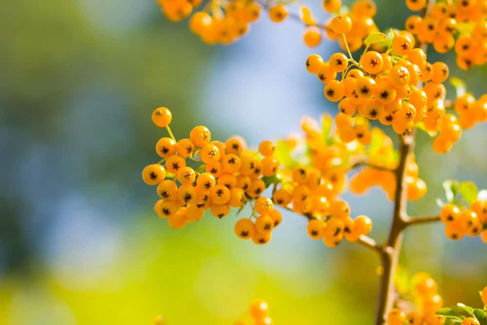 Yellow firethorn fruits