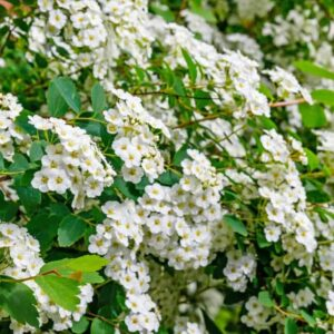 The white flowers of the firethorn shrub.