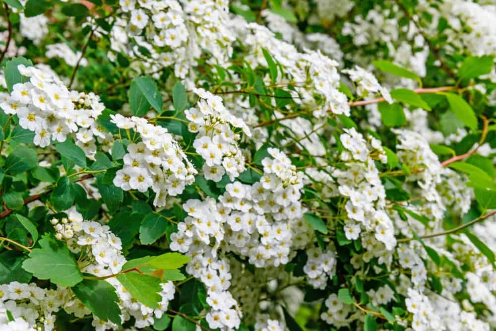 The white flowers of the firethorn shrub.