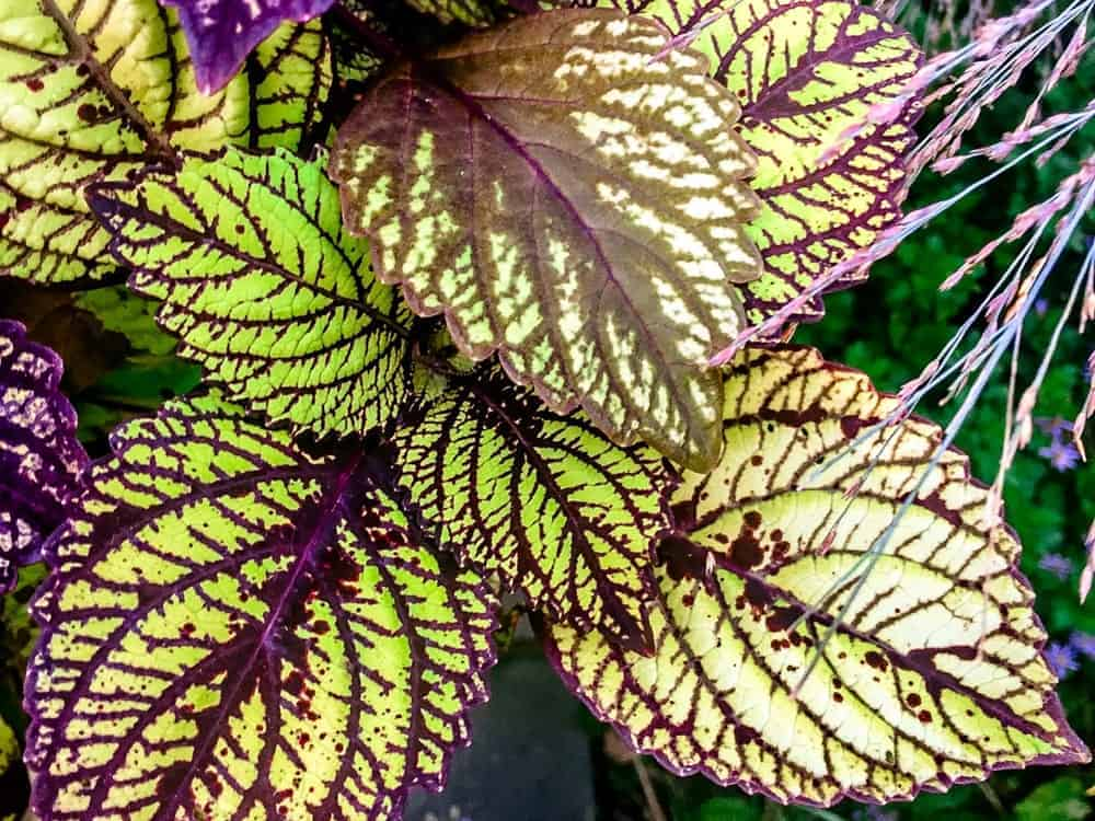 Fishnet Stockings; a cultivar of the Coleus plant