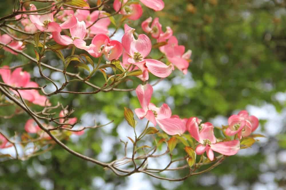 Flowering Dogwood; a type of Dogwood tree