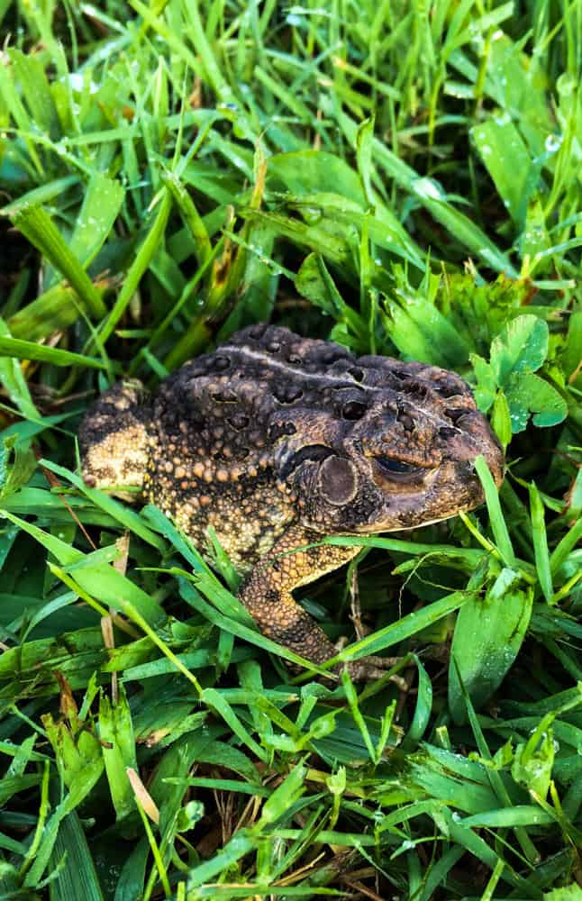 Fowler's toad hopping through the grass in North Carolina