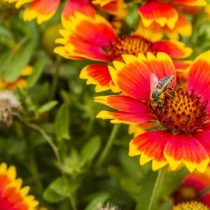 Bee sitting on a Gaillardia Flower