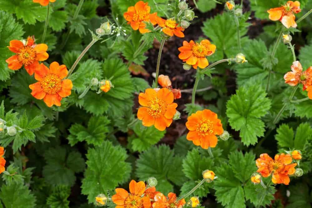 Geum Fire Storm flowers