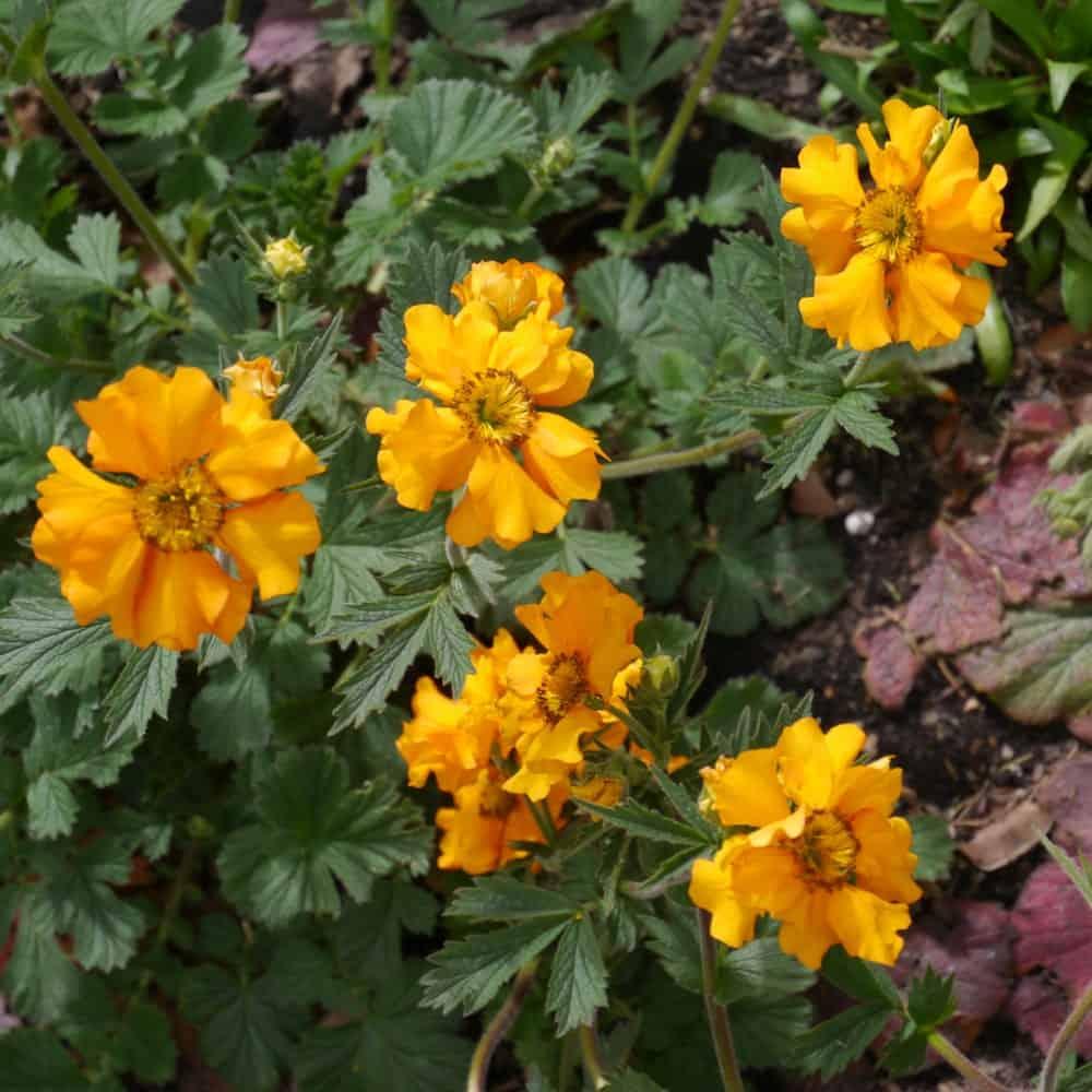 Geum Fireball flowers