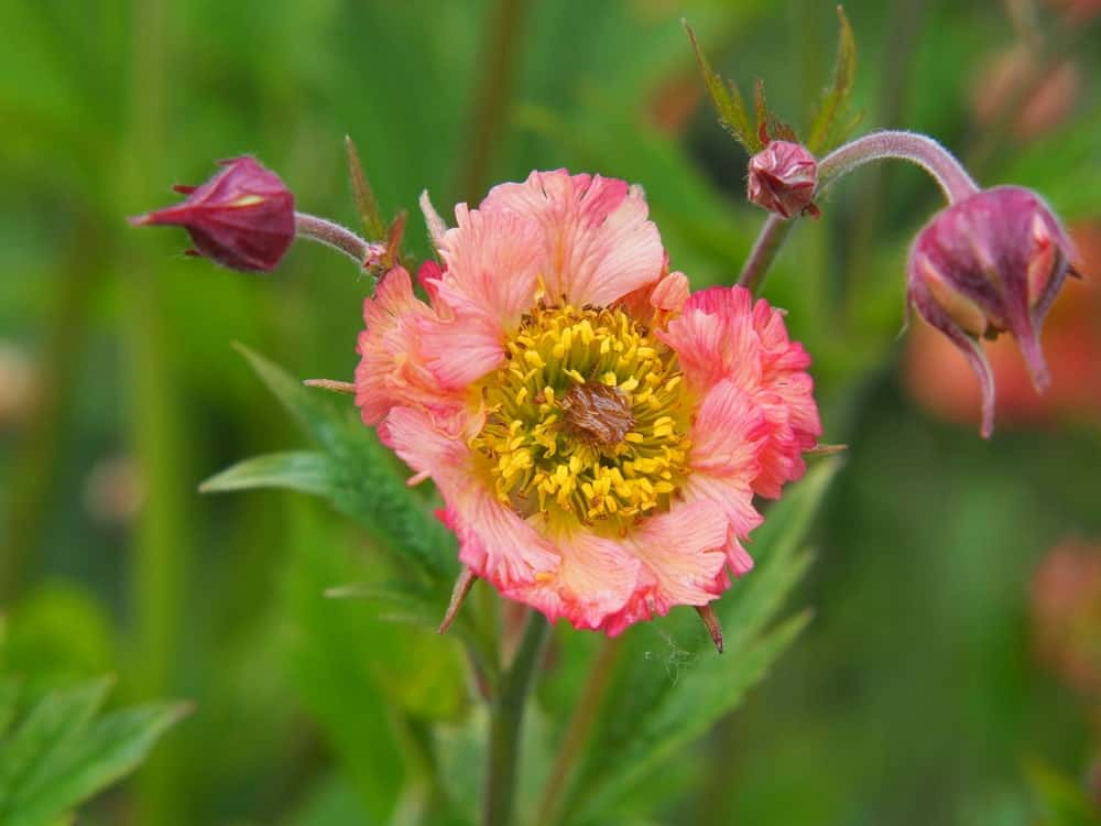 Fully blossomed Geum Mai Tai flower
