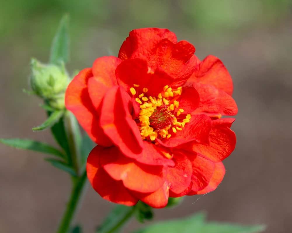 Flower of the Geum Mrs. J. Bradshaw