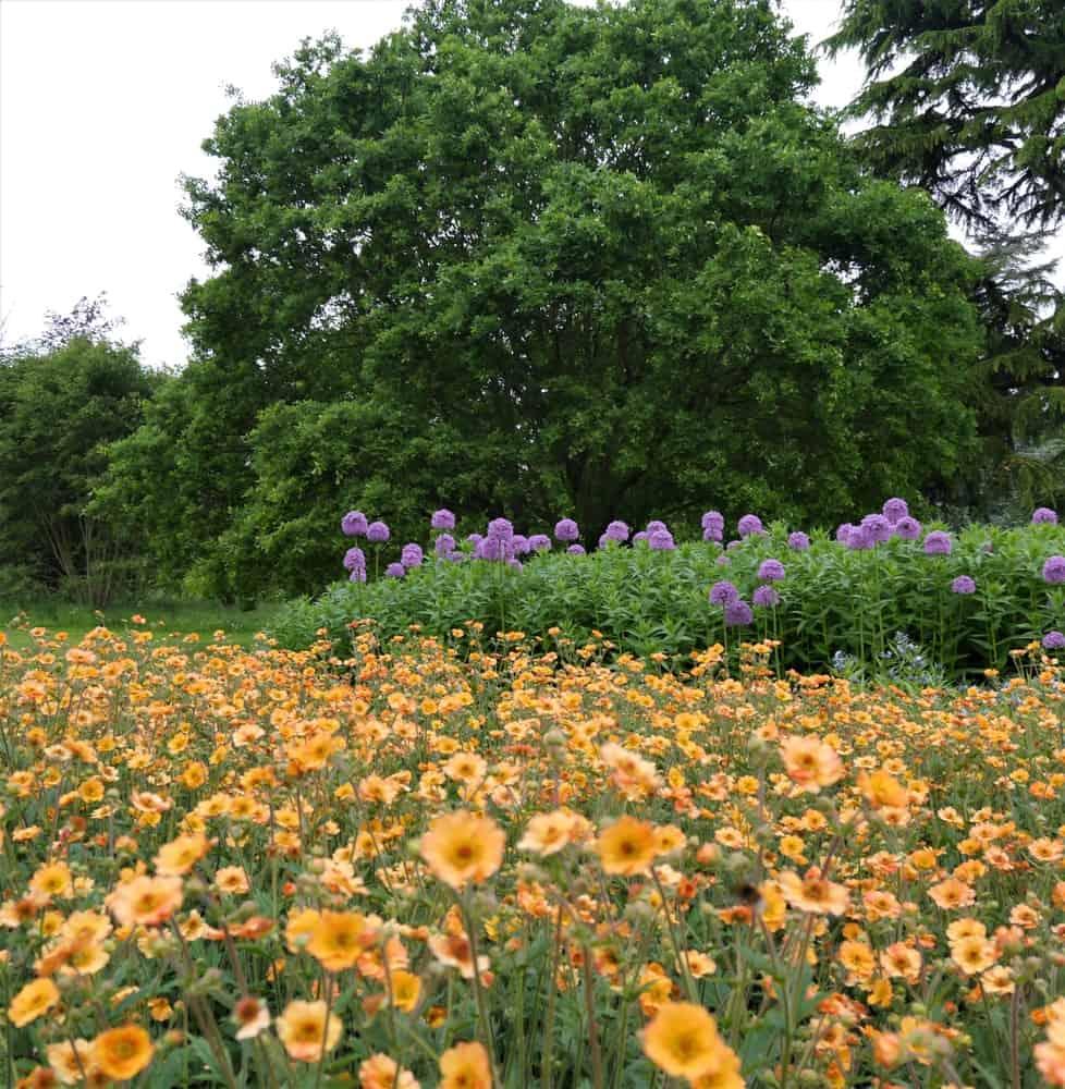 Field of Geum Prinses Juliana