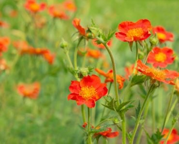 Orange and yellow geum flowers