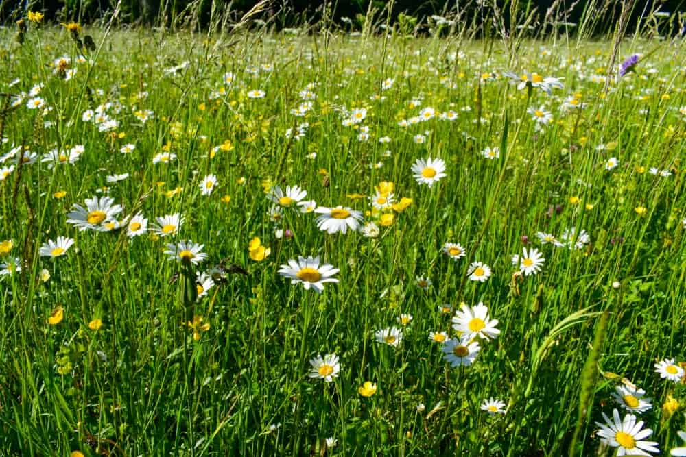 A Field A Field of Golden A Field of Golden Marguerite Flowers Marguerite Flowers of Golden Marguerite Flowers