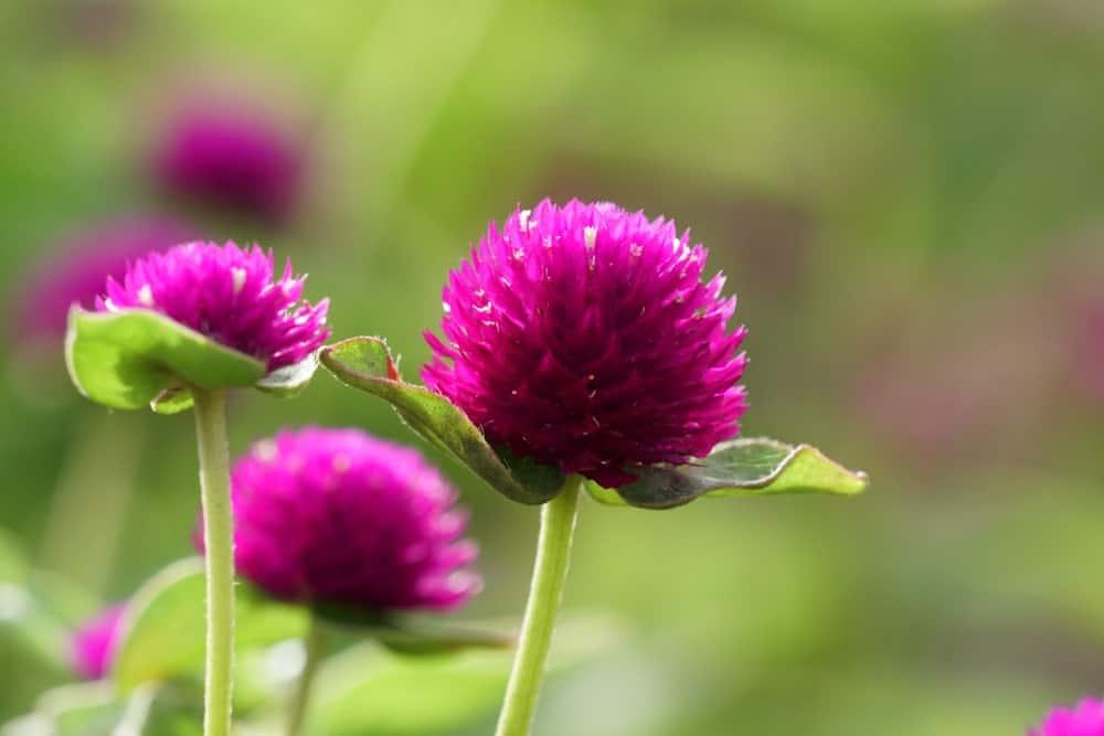 Gomphrena Globosa flowers in the garden