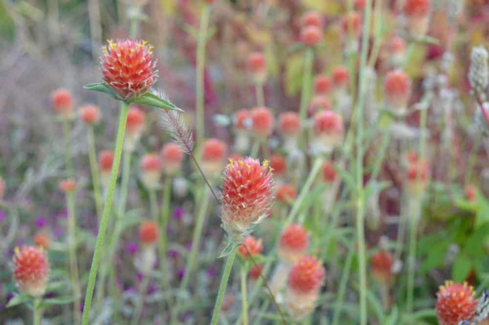Gomphrena Haageana flowers in the garden