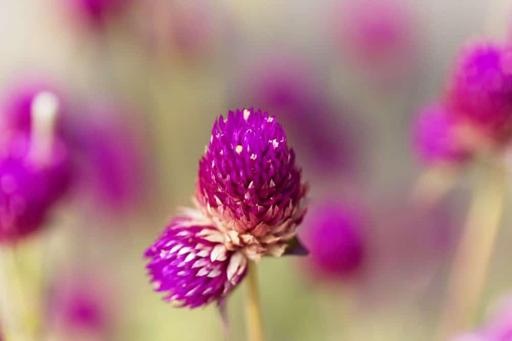 Gomphrena Perennis flowers in the garden