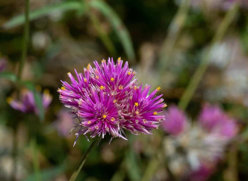 Truffula Pink