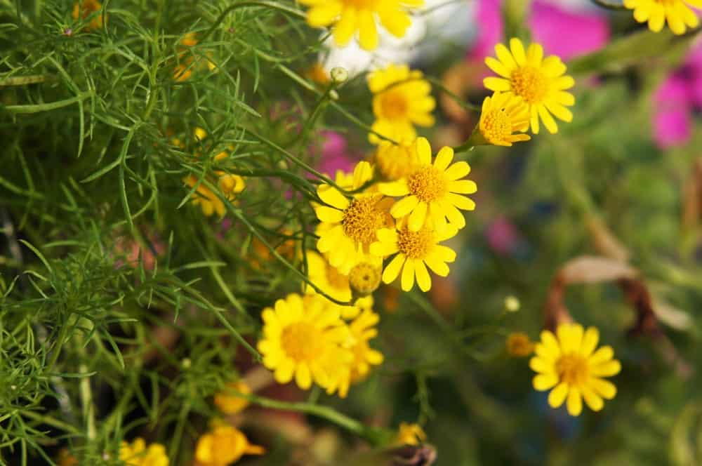 Bright Yellow-Golden Flowers with Fern-like Foliage