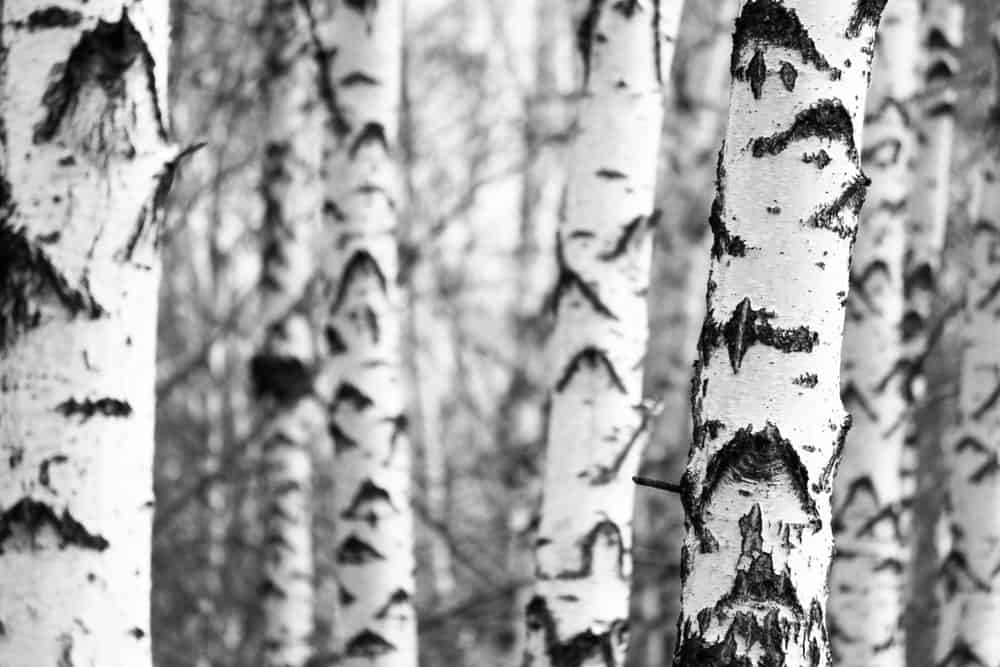 Trunk of gray birch tree