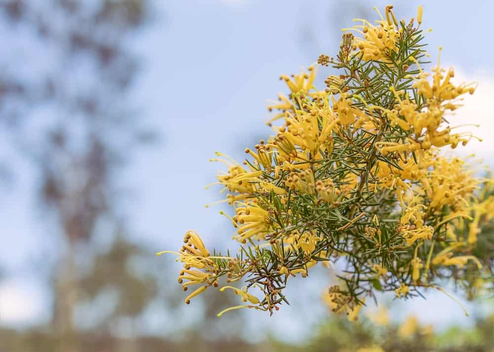 Flowers of the grevillea juniperina gold cluster