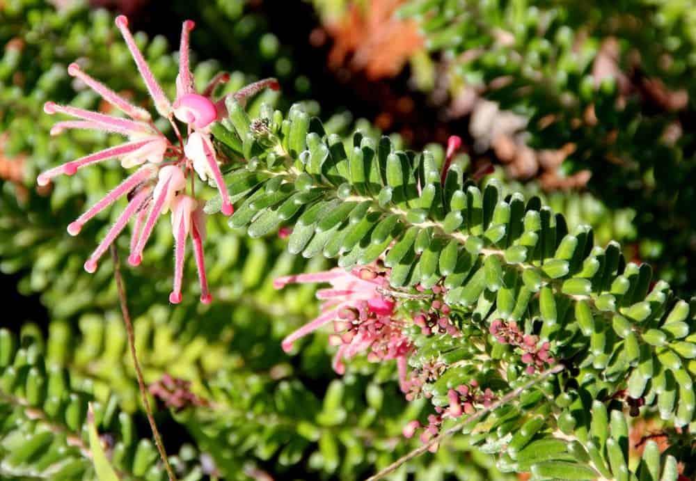 Pink flowers of grevillea lanigera
