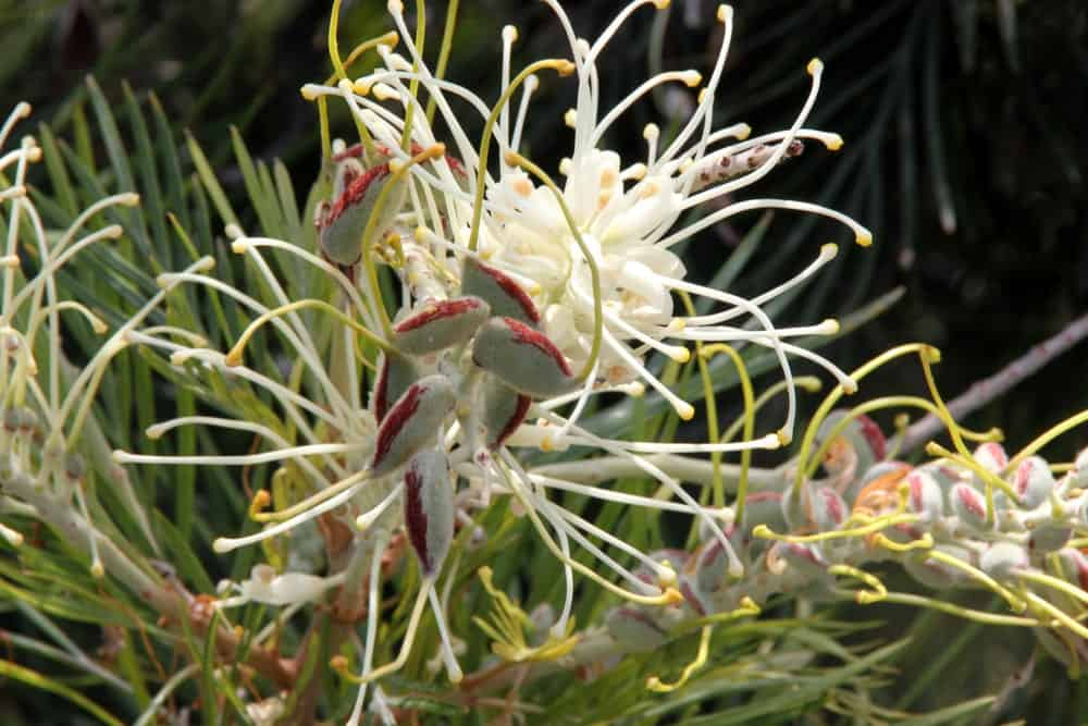 Close up of grevillea moonlight