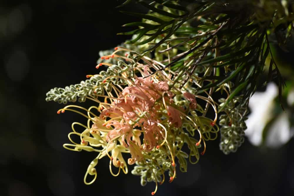 Flowers of grevillea poorinda golden lyre